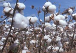Iran Cotton